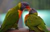 Feeding time_1941 (gtveloce) Tags: feedingtime lorikeets rainbow centralcoast nsw australia birds