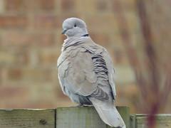 collared dove juliette (river crane sanctuary) Tags: birds collared dove river crane