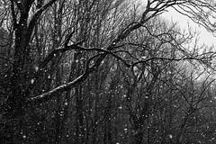 Springtime Snowfall (macplatti) Tags: xt2 xf55200mmf3548rlmois monochrome springtime snowfall schneefall frühling frühlingsscchnee schwarzweiss sw bw blackandwhite koblach vorarlberg austria aut
