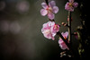 17032018_spring (Chicaco11) Tags: chicaco11 nikkor 50mm lumix gx7 flower pink spring plum 2018 japan