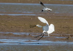 DSC_3482 (Adrian Royle) Tags: lincolnshire framptonmarsh rspb nature wildlife bird heron spoonbill nikon