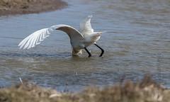 DSC_3456 (Adrian Royle) Tags: lincolnshire framptonmarsh rspb nature wildlife bird heron spoonbill nikon