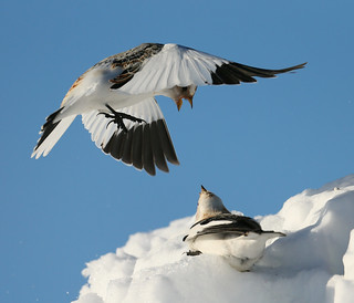 Plectrophanes des neiges - Snow Bunting