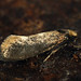 Incurvaria masculella - Feathered diamond-back - Минно-чехликовая моль переливчатая