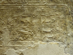 Bulls, Tomb of Meryre, Amarna (Aidan McRae Thomson) Tags: amarna tomb egypt ancient egyptian