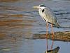 Garza real (Ardea cinerea) (49) (eb3alfmiguel) Tags: aves zancudas ciconiiformes ardeidae garza real ardea cinerea