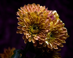 Braced for Fall 1106 Two (Tjerger) Tags: nature autumn beautiful beauty black bloom blooming blooms closeup clump fall flora floral flower flowers green group macro mum orange plant portrait purple white wisconsin yellow mums braced darkbackground bracedforfall natural
