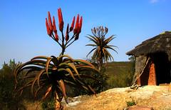 Africa Flower-Power (Zoom58.9) Tags: blume pflanzen hütte blüten blätter rot landschaft natur afrika botswana flower plant hut blossoms leaves red landscape nature africa canon eos 50d