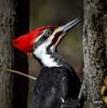 Pileated Woodpecker (jt893x) Tags: 150600mm bird d500 dryocopuspileatus jt893x male nikon nikond500 pileatedwoodpecker portrait profile sigma sigma150600mmf563dgoshsms woodpecker thesunshinegroup coth alittlebeauty coth5 sunrays5 ngc