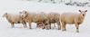 Snow sheep (jackharrybill) Tags: snow sheep ewes winter haworth rabbithill farming farm livestock feeding
