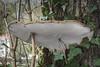 Ganoderma applanatum - Ganoderme aplani (Vincent L°) Tags: france nouvelleaquitaine poitoucharentes saintbenoit vienne agaricomycetes agaricomycotina basidiomycete fungi ganodermataceae macro mycologie photonaturaliste photographie polyporales printemps saison sortiemycologique