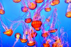 #PicOfTheDay Jellyfish in the background (Candidman) Tags: jellyfish background sea ocean orange tentacles