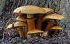 Laughing Jim (Gymnopilus junonius) (Bernard Spragg) Tags: laughingjimgymnopilusjunonius fungi mushroom nature lumix naturelover