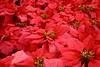 The Flowerfields (joeksuey) Tags: flowerfields ranunculus sandiego carlsbad california flower field ornamental bonsai spring poinsettia roses sunflower daisies columbine delphinium