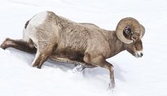 Ram on the Run (kpgoldman.nature) Tags: snow winter mammal ram bighorn run running action adult male bighornsheep february 2018 kengoldmanphotography nature natural wild wildlife wyoming yellowstone