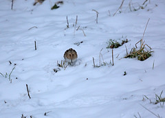 Snipe in the snow