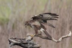 Pojana (Buteo buteo) (Marcello Giardinazzo) Tags: poiana buteobuteo birds bird avifauna natura wild italia uccelli