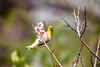 Spring has Sprung (moaan) Tags: kobe hyogo japan jp bird mejiro japanesewhiteeye branch springtime springbranch perch blossom ume japaneseapricot blossoming inblossom dof depthoffield bokeh bokehphotography canoneos5dsr ef70200mmf28lisiiiusm utata 2018 canon canonphotography