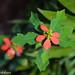 Euphorbia cyathophora (Dwarf Poinsettia)