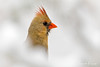 Snowy Cardinal (Sharon's Nature) Tags: aves portrait canon cardinal northerncardinal bokeh snow virginia birds cardinaliscardinalis