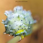 Samia cynthia  - Drury, 1773 - caterpillar - Explore 23.03.18 thumbnail