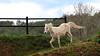 EL CAVALL BLANC DE VILERT (Joan Biarnés) Tags: vilert caball cavallo canon7d pladelestany girona