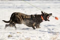 Daemon an der Reizangel (Maria Zielonka) Tags: hund hunde hundefotografie canon mariazielonkafotografie hamburg schäferhund holländischer hollandseherdershond herder daemon vom flensburger land action schnee snow shepherd shepherddog