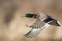 Mallard (Gregory Lis) Tags: mallard anasplatyrhynchos britishcolumbia gorylis gregorylis nikond810 nikon duck