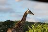 DSC_6034.jpg (jicehef) Tags: animaux afriquedusud2018 girafe voyages nomcondo kwazulunatal afriquedusud za
