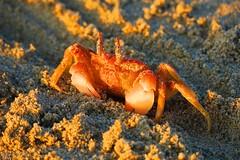 IMG_4433 (tamara.osses) Tags: cangrejo playa mar