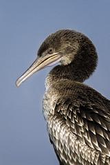 070A3369-1 (Cog2012) Tags: cormorant
