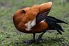 Spread speculum (PChamaeleoMH) Tags: anatidae birds centrallondon london preening ruddyshelduck stjamesspark