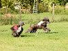 CoursingVillaverla2016w-073 (Jessica Sola - Overlook) Tags: dogs sighthounds afghanhounds greyhounds saluki barzoi italiangreyhounds irishwolfhounds lurecoursing lure race run dograces field greengrass
