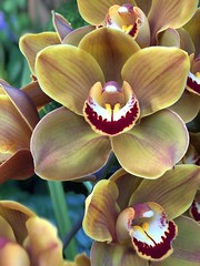 Hybrid Phalaenopsis Orchid - yellow with red stripes (AndyS03) Tags: halide phalaenopsis phalaenopsishybrid yellow orchids flowers flower orchid