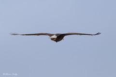 A different view (billbigfish) Tags: eagle baldeagle ngc birdofprey birdwatcher nature wildlife raptor canon 80d tamron canon80d wildlifephotography naturephotography