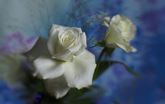 White Roses (Smiffy'37) Tags: roses white blue art romantic nature flowers closeup lensbaby olympus 7dwf