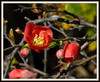 (uncle mike in knoxville) Tags: flower spring quince