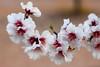Flor de almendro (Josevi Parra) Tags: flor flower almendro almond naturaleza nature blanco white ramas branch canondpp