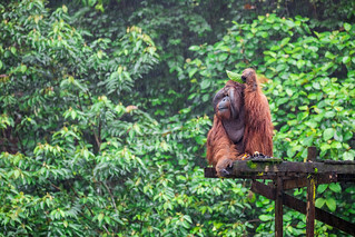 Aman the legendary male Pongo pygmaeus (Orangutan). Matang Wildlife Centre