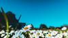 Focus (A L R O E S) Tags: flower field land algaida mallorca palmademallorca islasbaleares balearicislands sun sky cielo flores white yellow green blue azul blanco amarillo verde campo bokeh extremebokeh nature naturaleza