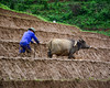 Farmer with buffalo on rice field (phuong.sg@gmail.com) Tags: agriculture animals asia beautiful buffalo china cow ethnic ethnicity farm farming field green harvest harvesting labor labour landscape laos manual minority mountain national natural nature organic paddy park people plant plantation plough rice rural sapa season sunrise terraced terraces tour tourism traditional travel vietnam view village villager water working
