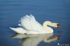 Prêt à bondir... (jean-daniel david) Tags: oiseau oiseaudeau cygne blanc reflet réservenaturelle lac lacdeneuchâtel yverdonlesbains bleu animal fabuleuse