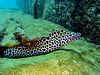 Moray eel (markb120) Tags: fish animal fauna water sea ocean underwater diving scuba coral reef moray eel