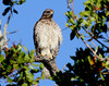 Red-shouldered Hawk (Buteo lineatus); Fort Meyers, Florida, Bunche Beach [Lou Feltz] (deserttoad) Tags: nature water animal park florida bird wildbird swamp raptor hawk buteo behavior