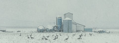 A Moot Had Been Called (Paul B0udreau) Tags: nikkor50mm18 photoshop canada ontario paulboudreauphotography niagara d5100 nikon nikond5100 raw layer winter snow farm canadageese birds panocrop