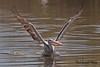 PINK-BACKED  PELICAN // PELECANUS  RUFESCENS  (130-160CM) (tom webzell) Tags: naturethroughthelens