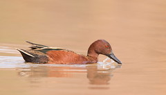 Cinnamon teal drake foraging Gilbert water ranch az (mandokid1) Tags: canon canon500f4 1dx birds duck waterfowl arizona
