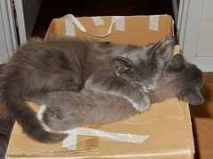 Sleeping on Your Sister (mikecogh) Tags: seaton kittens asleep affectionate boxes gray grey siblings