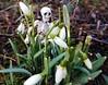 Hideout (claudine6677) Tags: pose skeleton skull hide bones snowdrops skelett knochen schneeglöckchen versteck
