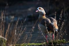 Egyptian goose (Cloudtail the Snow Leopard) Tags: nilgans tier animal vogel bird gans alopochen aegyptiaca egyptian goose zoo stadtgarten karlsruhe
